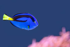Palette surgeonfish swimming in blue water with pink anemone. And empty space for text Royalty Free Stock Photography