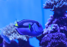Palette tang fish, Paracanthurus hepatus Stock Images