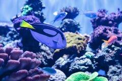 Palette tang fish, Paracanthurus hepatus Stock Image