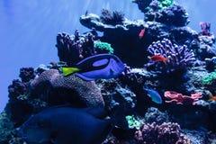 Palette tang fish, Paracanthurus hepatus Royalty Free Stock Photography