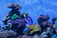 Palette tang fish, Paracanthurus hepatus Royalty Free Stock Images