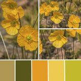 Palette of wild poppy flowers. Color matching palette with yellow and green colours.  royalty free stock photo