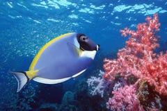 Paletten-Doktorfisch auf Korallenriff Stockfotos