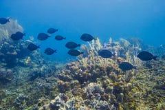Paletten-Doktorfisch-Fischschwarm Lizenzfreies Stockfoto