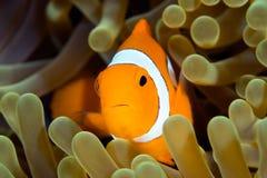 Palhaço Anemonefish Fotografia de Stock