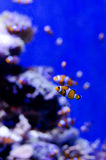 Palhaço Fish Fotos de Stock