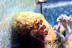 Palhaço Fish Imagem de Stock
