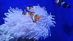 Palhaço Fish Imagens de Stock Royalty Free