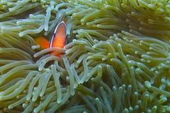 Palhaço Fish na anêmona de mar luminescente fora do capelão Burgos, Leyte, Filipinas Fotos de Stock