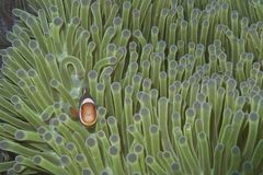 Palhaço Fish na anêmona verde, ilha de Balicasag, Bohol, Filipinas Foto de Stock Royalty Free