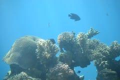 Palhaço Fish Nemo nos recifes de corais e nas estações de tratamento de água no Mar Vermelho, Eilat, Israel fotos de stock