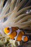 Palhaço fish2 foto de stock