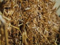 Palha amarela na exploração agrícola Fotografia de Stock