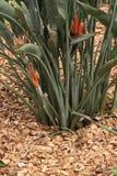 Palha de canteiro (casca do pinho) para rosas e plantas do fundamento Fotografia de Stock