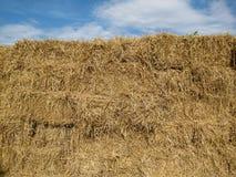 Palha do arroz no fundo do céu azul Imagens de Stock