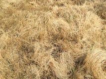 Palha seca do arroz Fotos de Stock Royalty Free