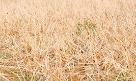 Palha secada do arroz fotos de stock