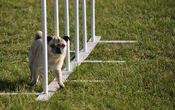 Pali del tessuto e del Pug alla prova di agilità del cane Fotografia Stock