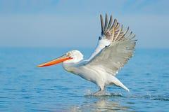 Palican при открытые крыла, охотясь животное Сцена живой природы от европейской природы Птица и голубое небо Животное с длинным о Стоковая Фотография RF