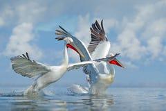 Palican при открытые крыла, охотясь животное Сцена живой природы от европейской природы Птица и голубое небо Животное с длинным о Стоковые Изображения