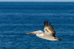 Palican que vuela sobre el mar Imagen de archivo libre de regalías