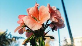 Palidezca - el rosa Fotos de archivo
