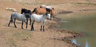 Palidezca el semental blanco del ante con la manada de caballos salvajes en el waterhole en gama del caballo salvaje de las monta Imágenes de archivo libres de regalías