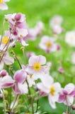 Palidezca - la anémona japonesa de la flor rosada, primer Nota: Profundidad baja Fotos de archivo libres de regalías