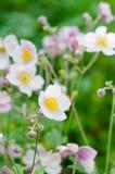 Palidezca - la anémona japonesa de la flor rosada, primer Nota: Profundidad baja Fotografía de archivo libre de regalías