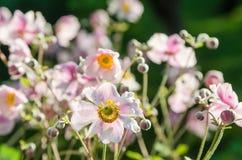 Palidezca - la anémona japonesa de la flor rosada, primer Nota: Profundidad baja Fotografía de archivo