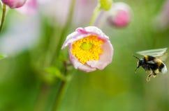 Palidezca - la anémona japonesa de la flor rosada, primer Fotos de archivo