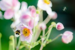 Palidezca - la anémona japonesa de la flor rosada, primer Fotografía de archivo libre de regalías