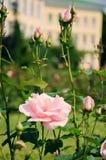 Palidezca - la rosa del rosa con los brotes Imagen de archivo libre de regalías