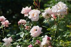 Palidezca - la rosa del rosa en un parque Fotos de archivo libres de regalías