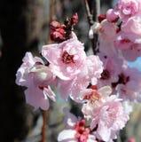 Palidezca - las floraciones dobles rosadas de florecer a Plum Tree. Foto de archivo libre de regalías