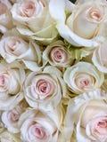 Palidezca - las rosas rosadas Foto de archivo libre de regalías