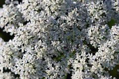 Palillo-planta de la textura de la flor del visnaga de Ammi fotos de archivo libres de regalías