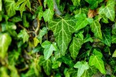 Palillo verde de la hoja en la pared Imagenes de archivo