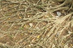 Palillos de la raíz a la tierra para la fotosíntesis Fotografía de archivo