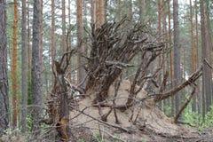 Palillos invertidos de las raíces del árbol fuera de la arena fotografía de archivo libre de regalías