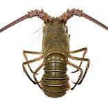 palinuridae омара spiny стоковые фотографии rf