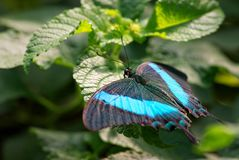 Palinurus de Emerald Swallowtail - de Papilio imagem de stock