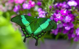 Palinurus de Papilio na flor roxa foto de stock royalty free