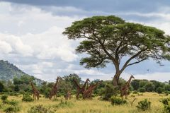 Palisade of necks. Very big herd of giraffes. Tarangire, Tanzania Royalty Free Stock Photography