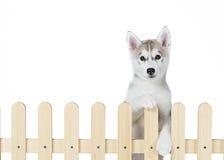 Palissade intérieure de chien de traîneau sibérien d'isolement sur le fond blanc Photo stock