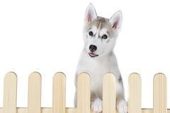 Palissade intérieure de chien de traîneau sibérien d'isolement sur le fond blanc Images stock
