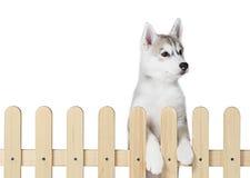 Palissade intérieure de chien de traîneau sibérien d'isolement sur le fond blanc Photo libre de droits