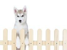 Palissade intérieure de chien de traîneau sibérien d'isolement sur le fond blanc Images libres de droits