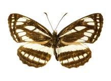 Paliuszu żaglowa motyl Obraz Stock