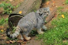 Paliuszu kot Obrazy Stock